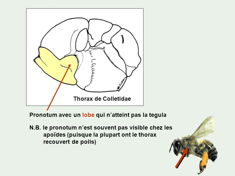 Thorax de Colletidae Pronotum avec un lobe qui n'atteint pas la tegula.
