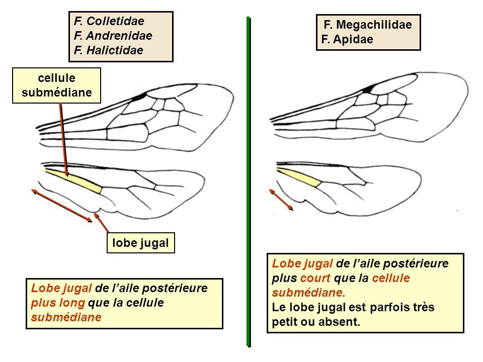 F. Colletidae F. Andrenidae. F. Halictidae. F. Megachilidae. F. Apidae. cellule submédiane. lobe jugal.