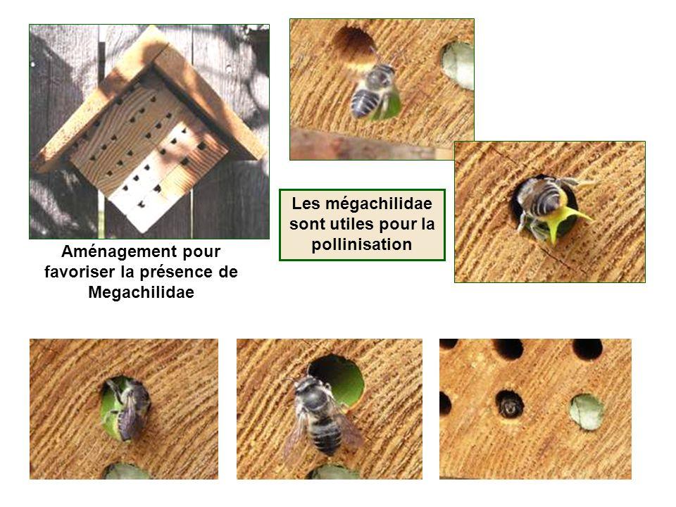 Les mégachilidae sont utiles pour la pollinisation