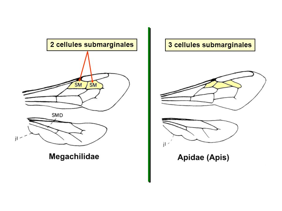 2 cellules submarginales 3 cellules submarginales