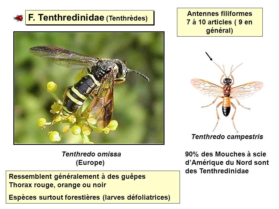 F. Tenthredinidae (Tenthrèdes)