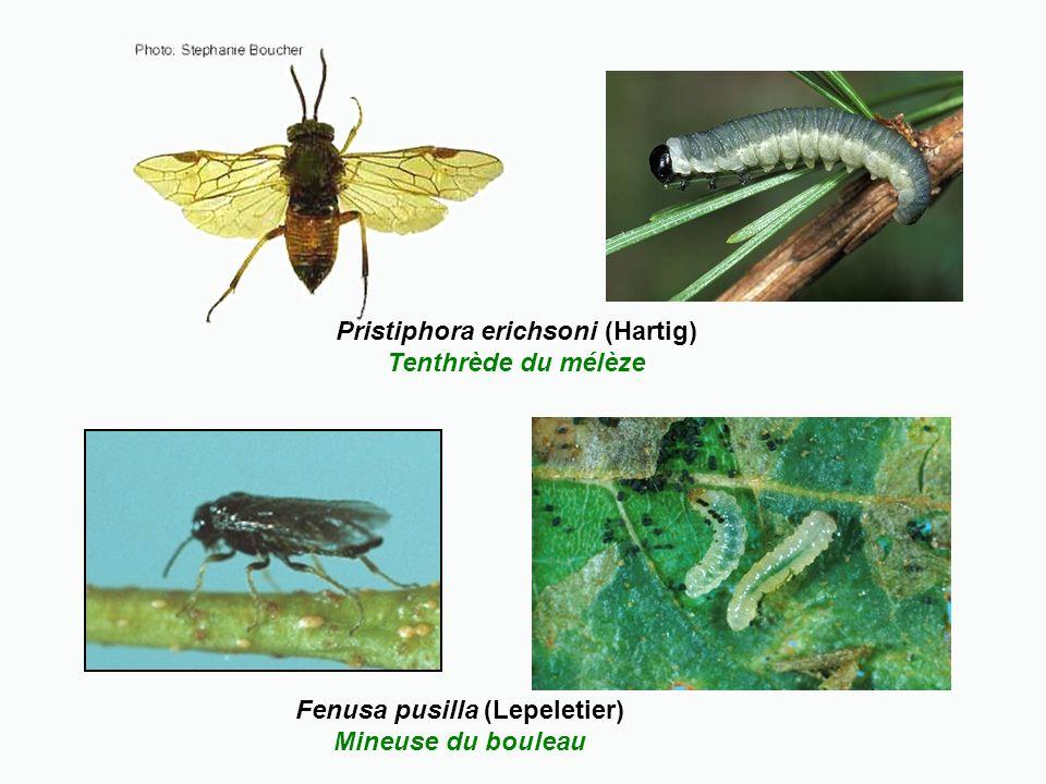 Pristiphora erichsoni (Hartig) Tenthrède du mélèze