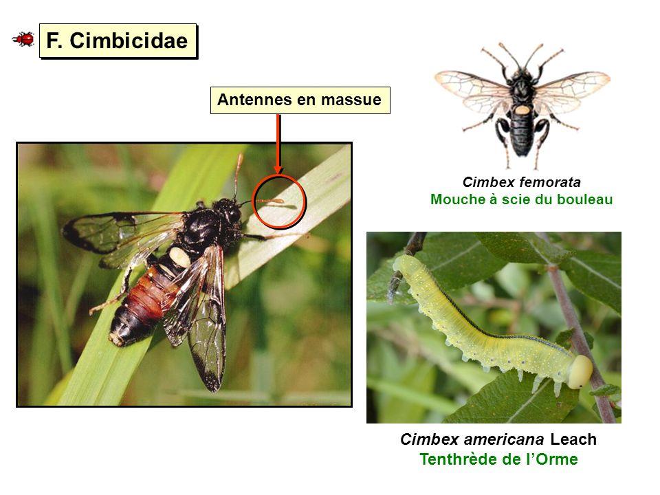 F. Cimbicidae Antennes en massue