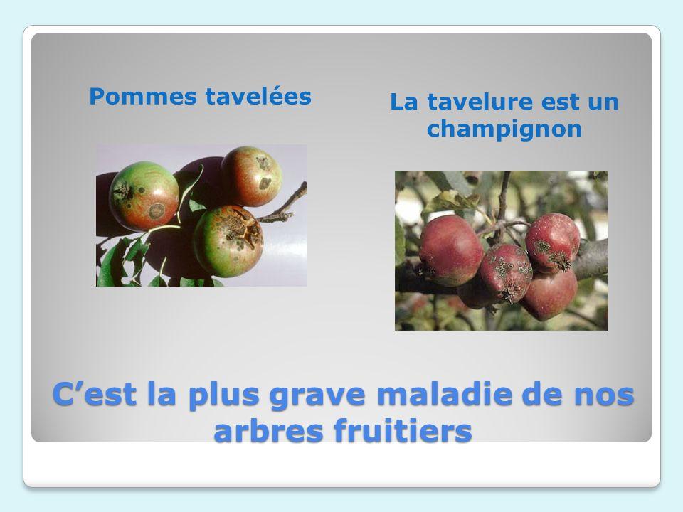 C'est la plus grave maladie de nos arbres fruitiers