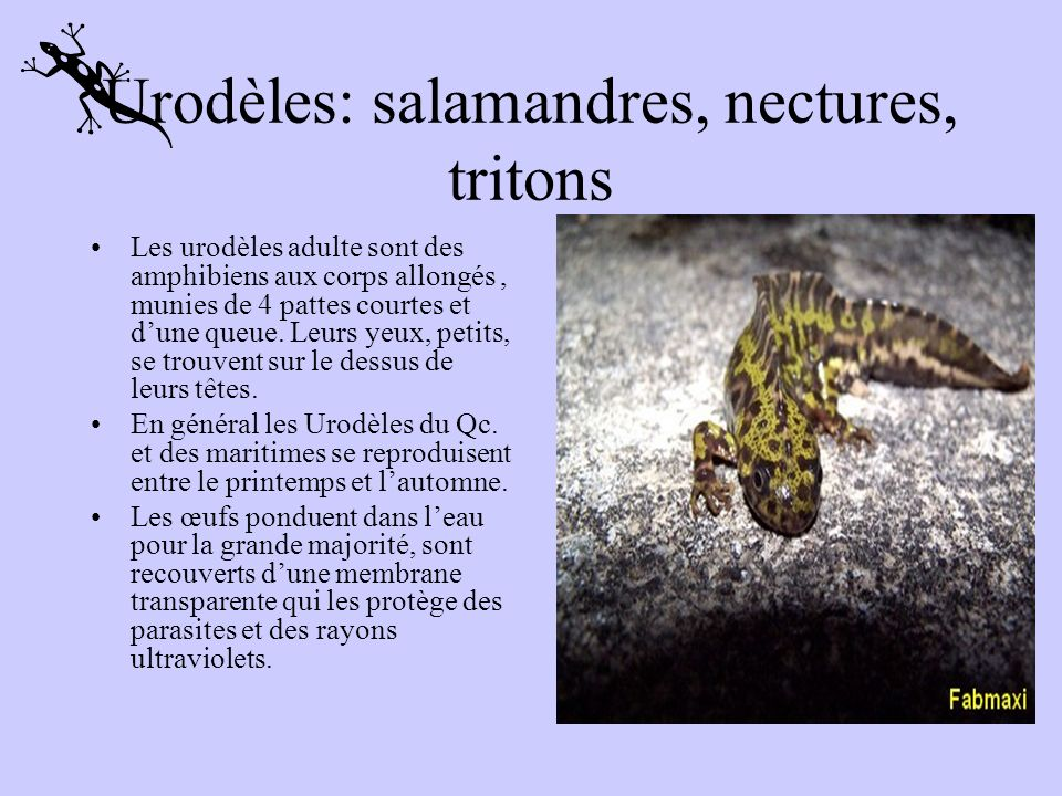 Urodèles: salamandres, nectures, tritons