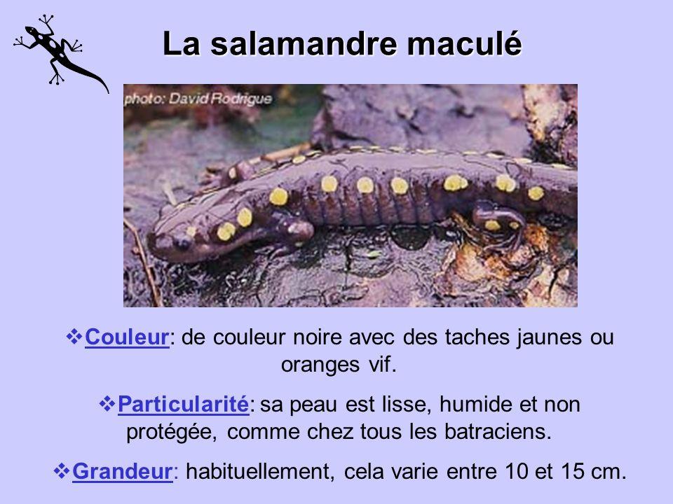 La salamandre maculé Couleur: de couleur noire avec des taches jaunes ou oranges vif.