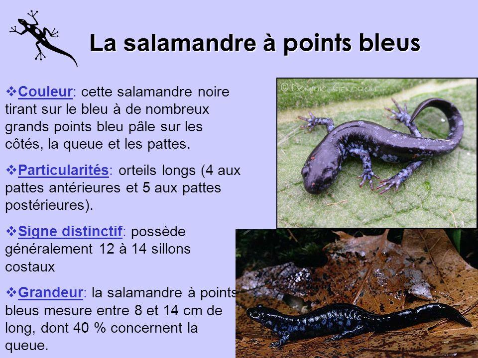 La salamandre à points bleus