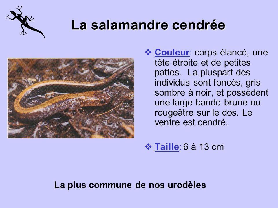 La salamandre cendrée