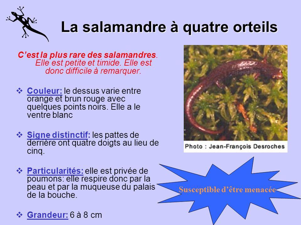 La salamandre à quatre orteils