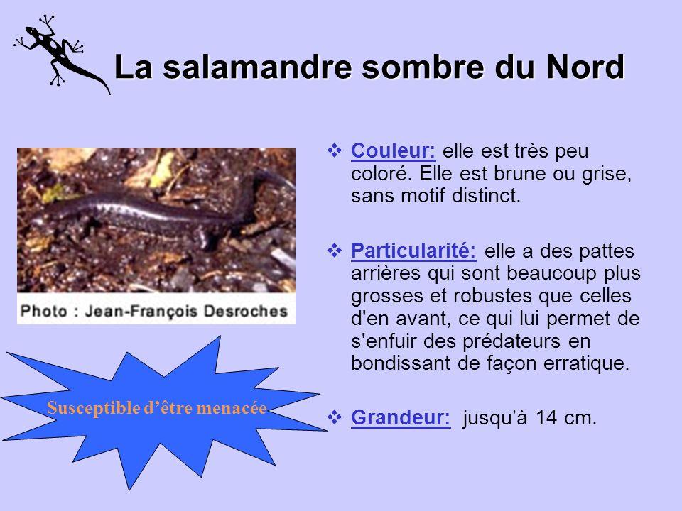 La salamandre sombre du Nord