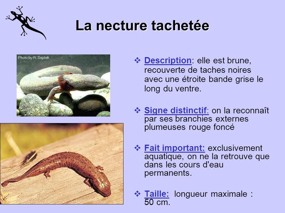 La necture tachetée Description: elle est brune, recouverte de taches noires avec une étroite bande grise le long du ventre.