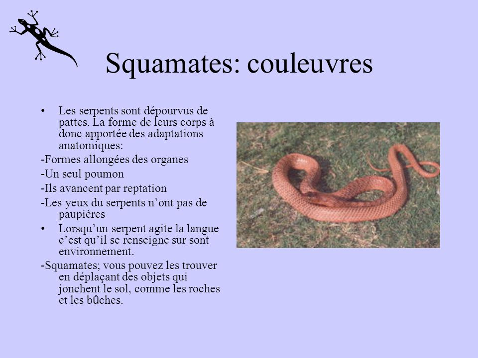 Squamates: couleuvres