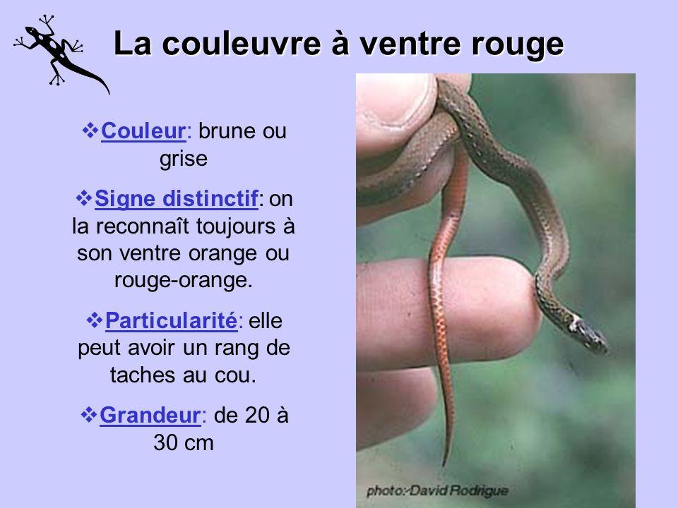 La couleuvre à ventre rouge