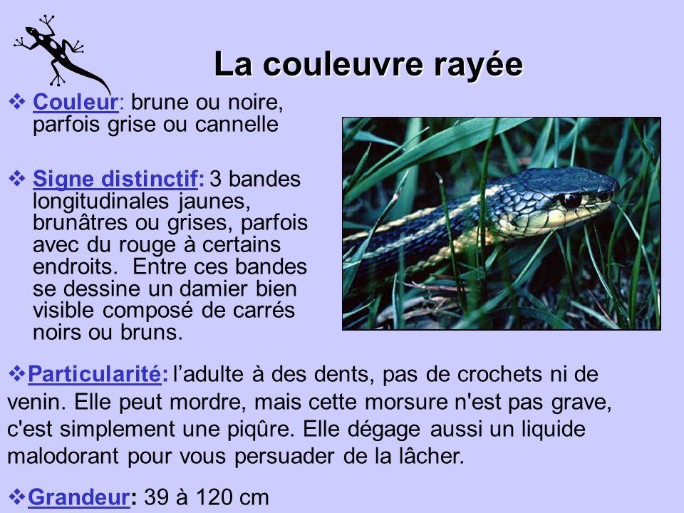 La couleuvre rayée Couleur: brune ou noire, parfois grise ou cannelle