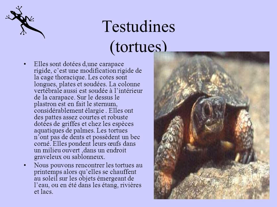 Testudines (tortues)