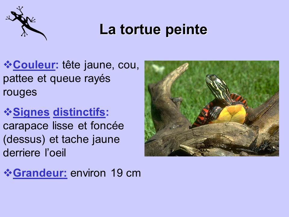La tortue peinte Couleur: tête jaune, cou, pattee et queue rayés rouges.
