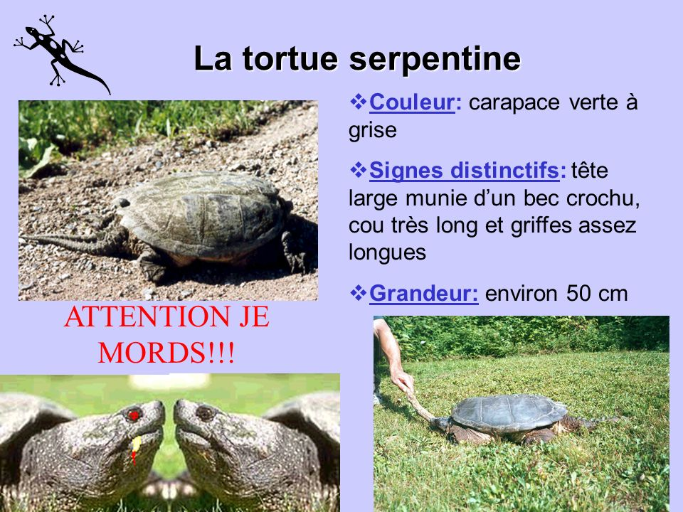 La tortue serpentine ATTENTION JE MORDS!!!