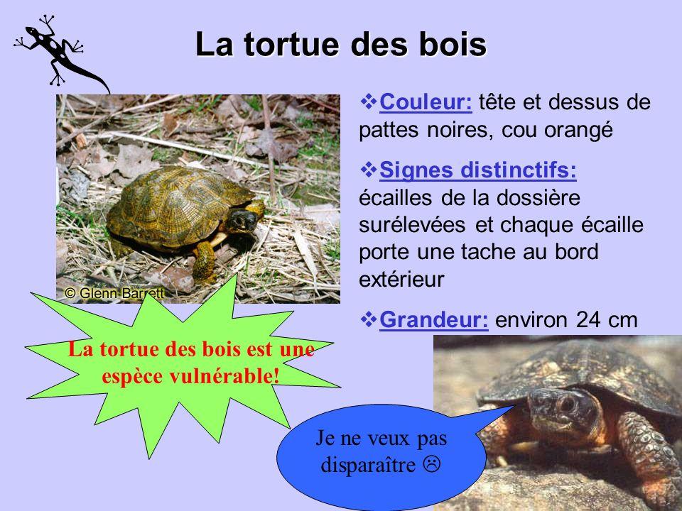 La tortue des bois est une espèce vulnérable!