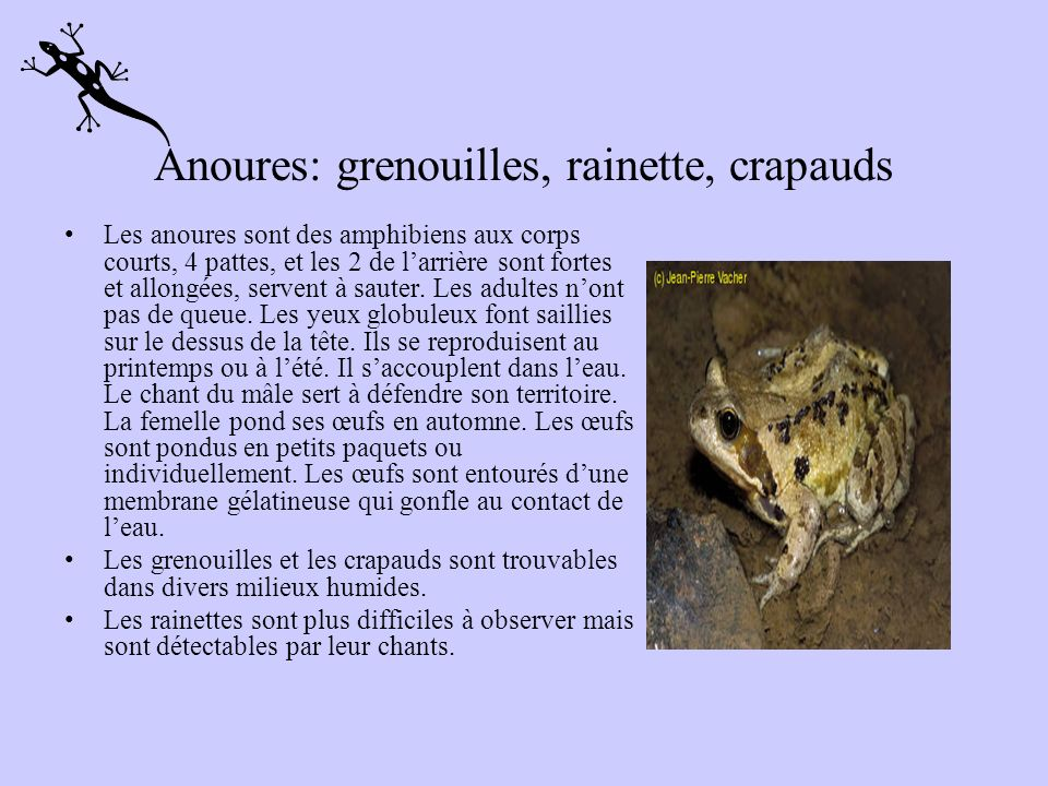 Anoures: grenouilles, rainette, crapauds
