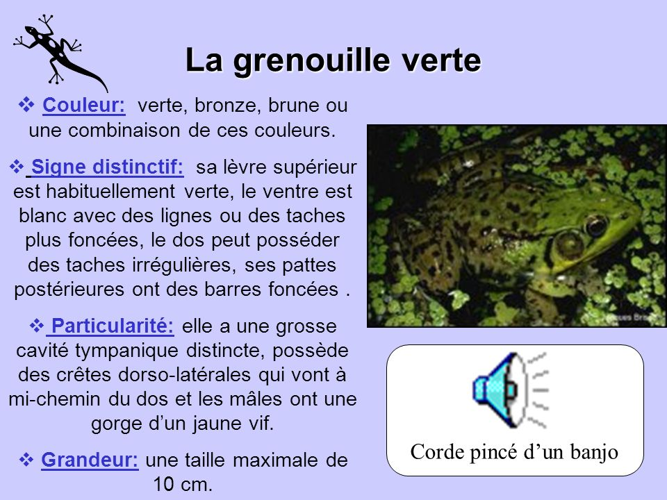 La grenouille verte Couleur: verte, bronze, brune ou une combinaison de ces couleurs.