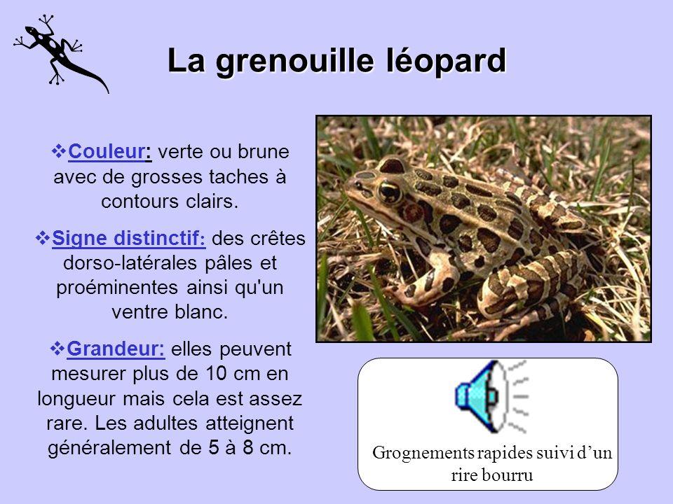 La grenouille léopard Couleur: verte ou brune avec de grosses taches à contours clairs.