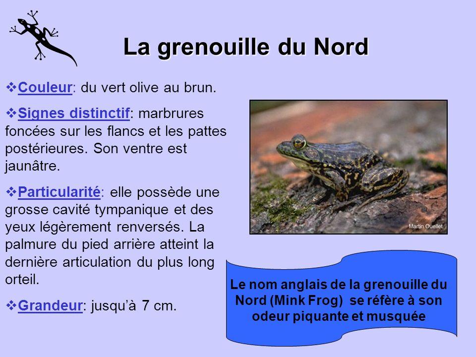 La grenouille du Nord Couleur: du vert olive au brun.