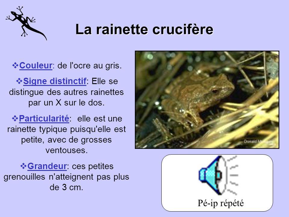 La rainette crucifère Pé-ip répété Couleur: de l ocre au gris.