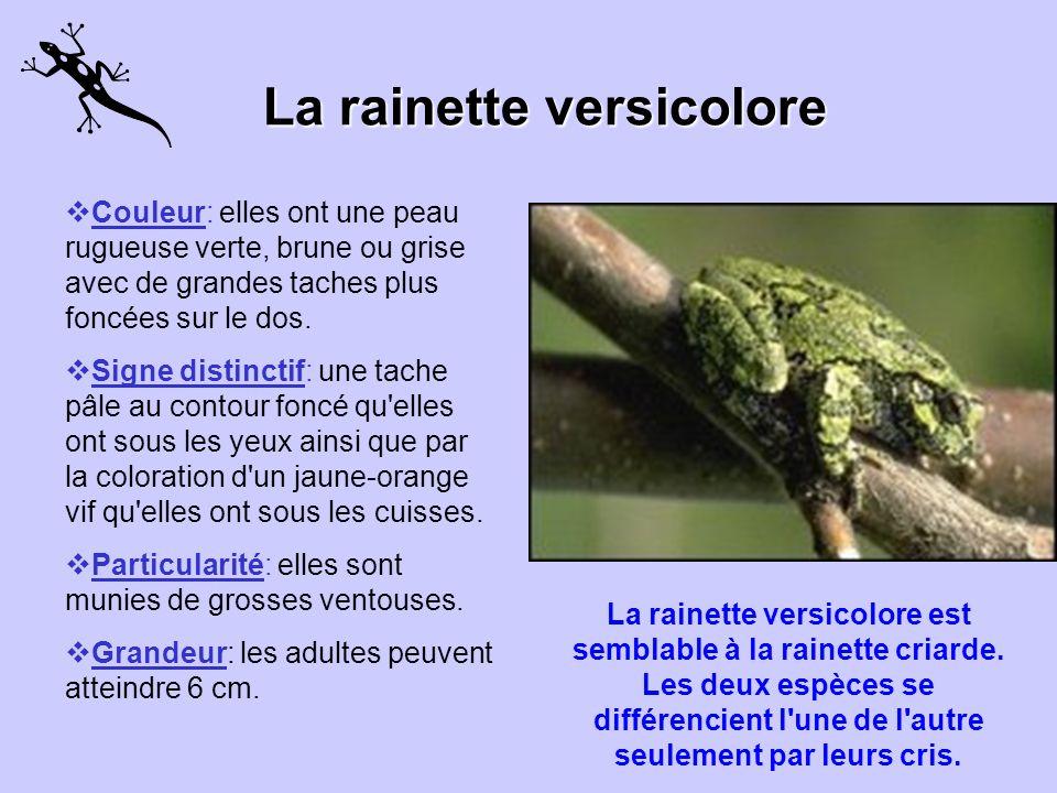 La rainette versicolore