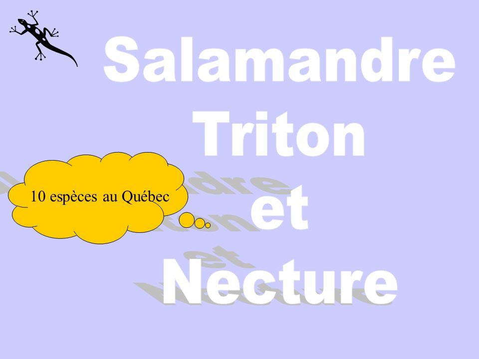 Salamandre Triton et Necture 10 espèces au Québec