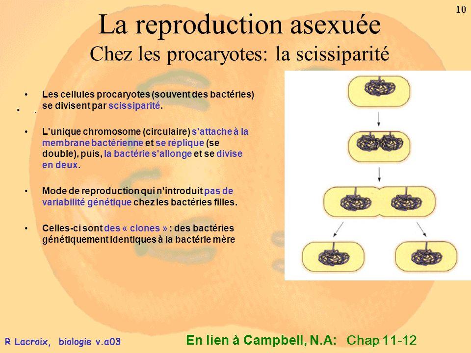La reproduction asexuée Chez les procaryotes: la scissiparité