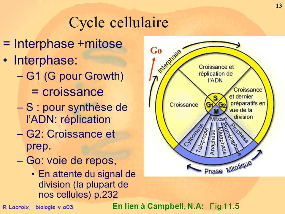Cycle cellulaire = Interphase +mitose Interphase: = croissance