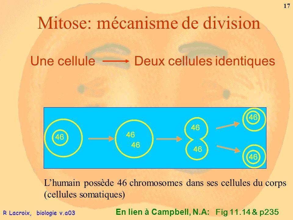 Mitose: mécanisme de division