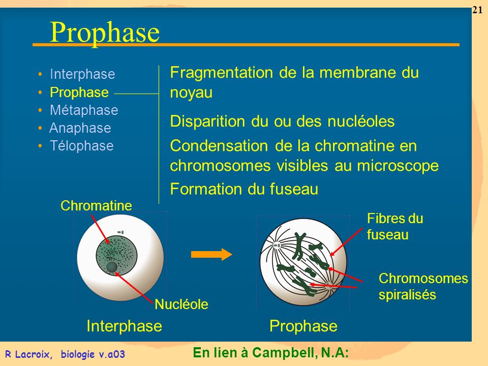 Prophase Fragmentation de la membrane du noyau