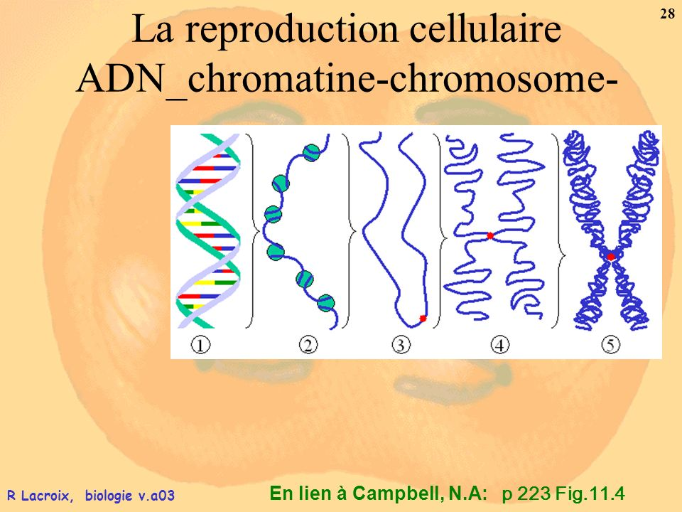 La reproduction cellulaire ADN_chromatine-chromosome-