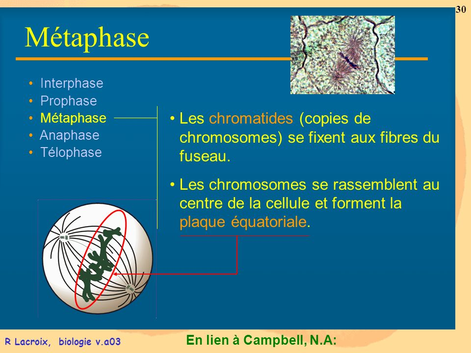 Métaphase Interphase. Prophase. Métaphase. Anaphase. Télophase. Les chromatides (copies de chromosomes) se fixent aux fibres du fuseau.