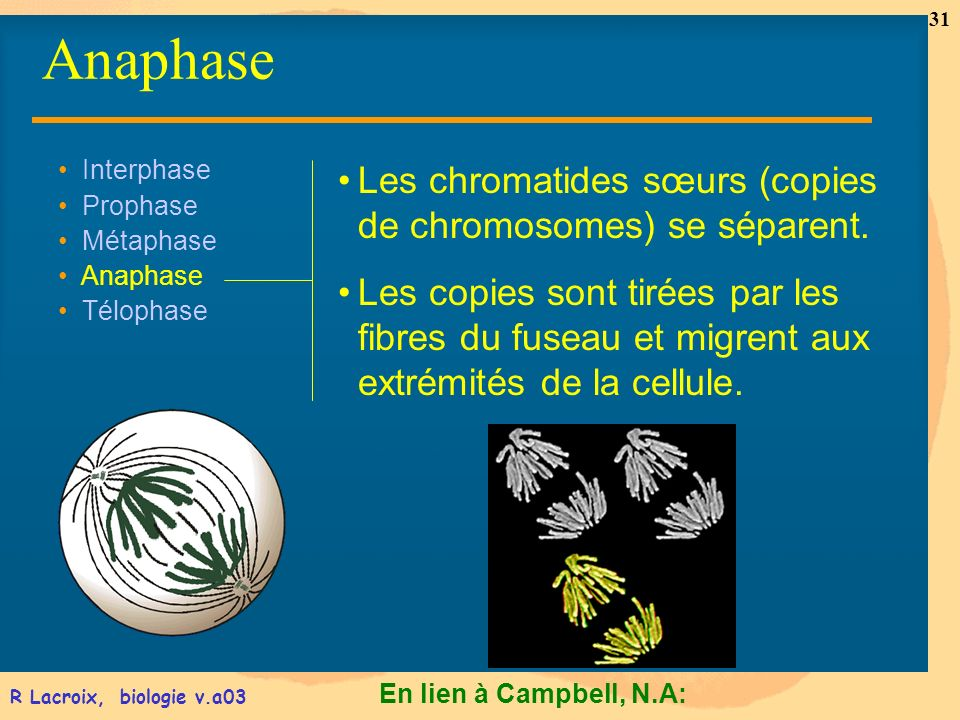 Anaphase Les chromatides sœurs (copies de chromosomes) se séparent.