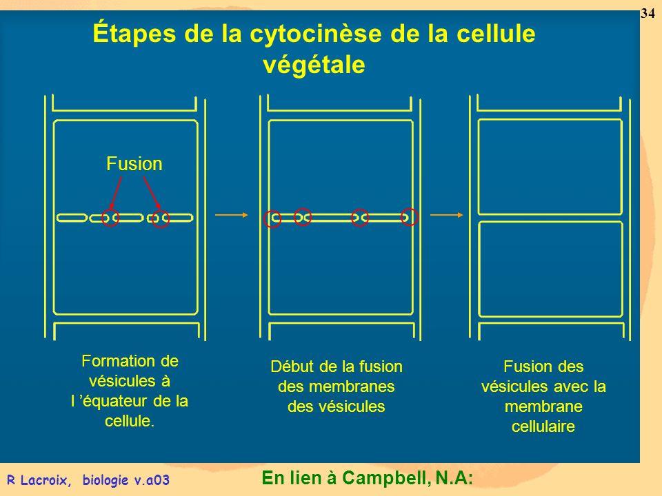 Étapes de la cytocinèse de la cellule végétale