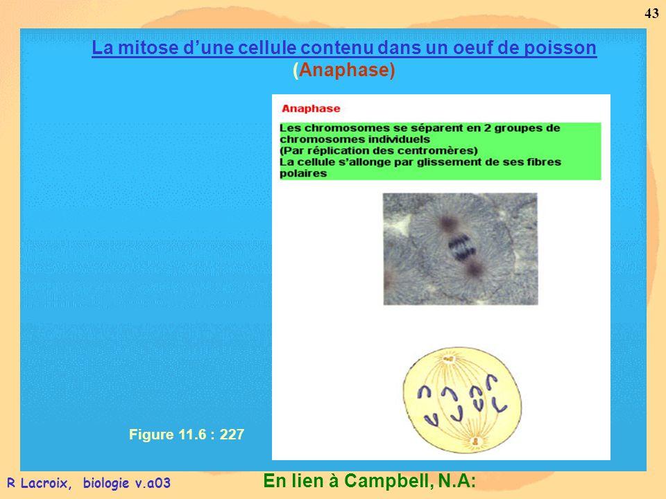 La mitose d'une cellule contenu dans un oeuf de poisson (Anaphase)