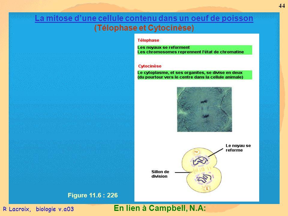 La mitose d'une cellule contenu dans un oeuf de poisson (Télophase et Cytocinèse)