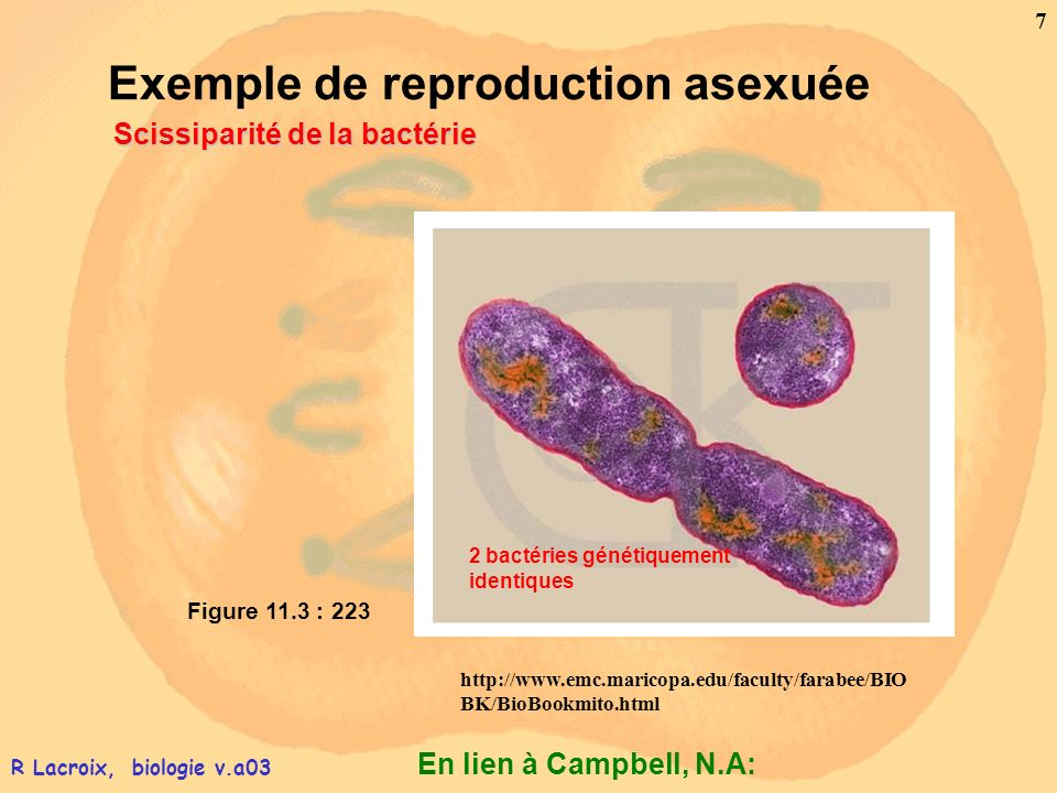 Exemple de reproduction asexuée Scissiparité de la bactérie