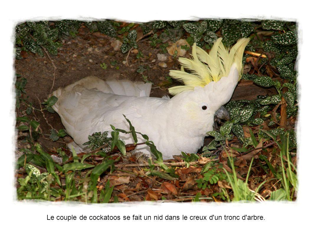 Le couple de cockatoos se fait un nid dans le creux d un tronc d arbre.