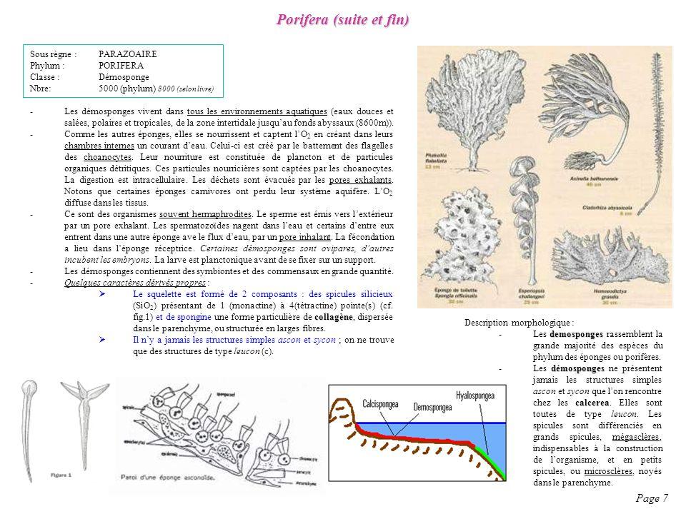 Porifera (suite et fin)