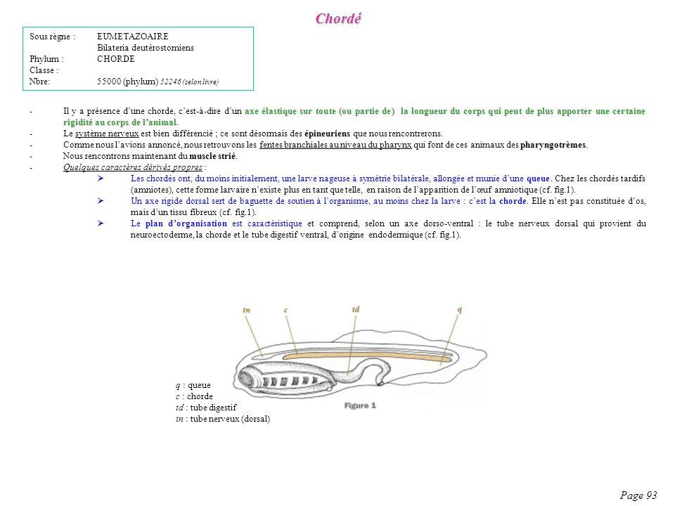 Chordé Page 93 Sous règne : EUMETAZOAIRE Bilateria deutérostomiens