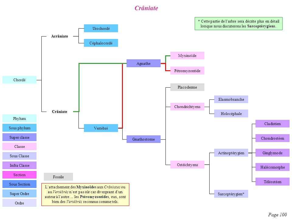 Crâniate * Cette partie de l'arbre sera décrite plus en détail lorsque nous discuterons les Sarcoptérygiens.