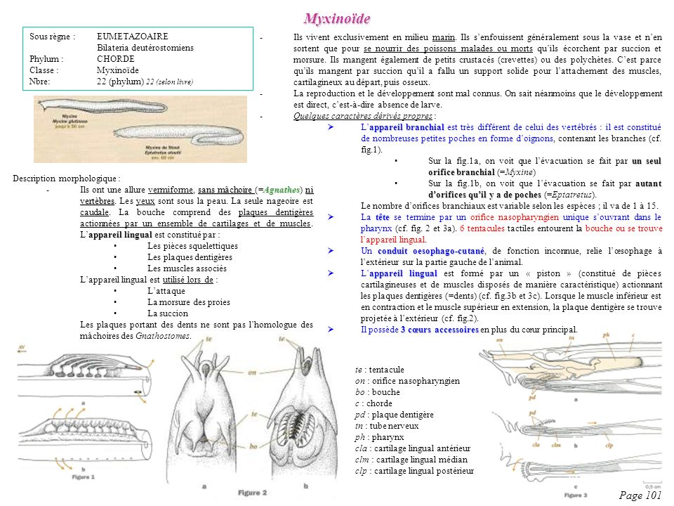 Myxinoïde Page 101 Sous règne : EUMETAZOAIRE