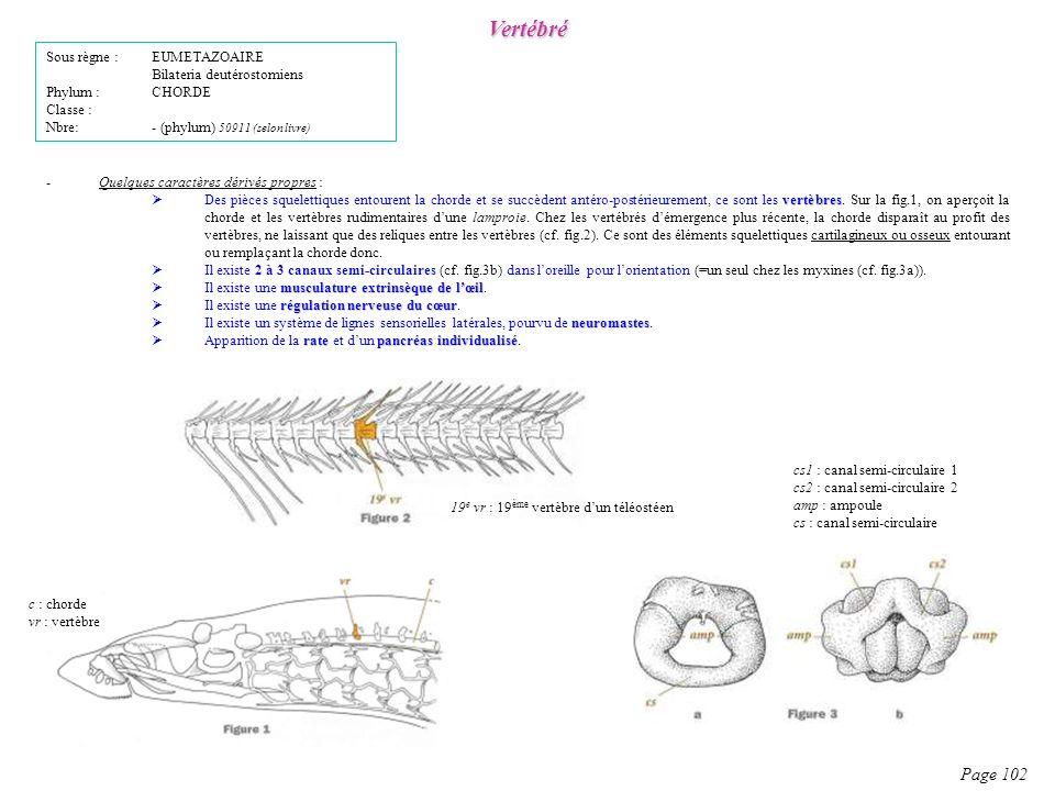 Vertébré Page 102 Sous règne : EUMETAZOAIRE Bilateria deutérostomiens