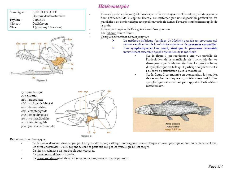 Halécomorphe Page 114 Sous règne : EUMETAZOAIRE