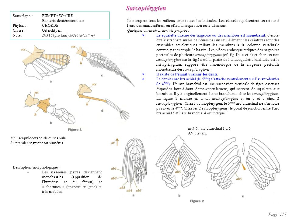 Sarcoptérygien Page 117 Sous règne : EUMETAZOAIRE