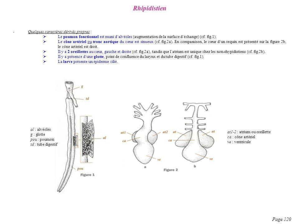 Rhipidistien Page 120 Quelques caractères dérivés propres :