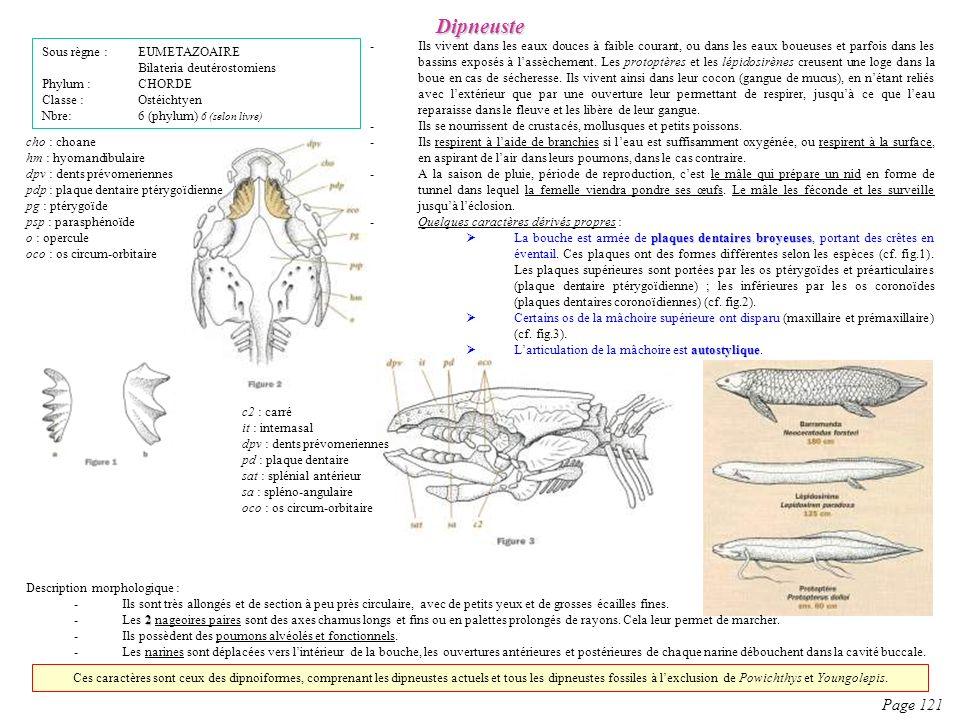 Dipneuste Page 121 Sous règne : EUMETAZOAIRE Bilateria deutérostomiens